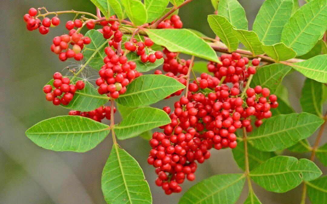 Το φυτό Brazilian pepper tree μπορεί να καταπολεμήσει τα ανθεκτικά στα αντιβιοτικά βακτήρια
